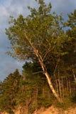 Un árbol de abedul que brilla en el Sun en la oscuridad Imágenes de archivo libres de regalías