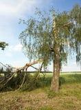 Un árbol de abedul quebrado en verano Foto de archivo libre de regalías