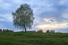 Un árbol de abedul solitario se coloca en un campo Fotografía de archivo