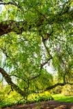 Un árbol de abedul viejo con las ramas largas en tiempo de primavera Foto de archivo