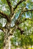 Un árbol de abedul viejo con las ramas largas en tiempo de primavera Imágenes de archivo libres de regalías