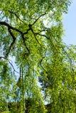 Un árbol de abedul viejo con las ramas largas en tiempo de primavera Imagen de archivo