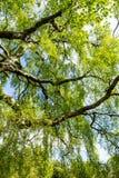 Un árbol de abedul viejo con las ramas largas en tiempo de primavera Fotografía de archivo libre de regalías