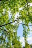 Un árbol de abedul viejo con las ramas largas en tiempo de primavera Imagenes de archivo