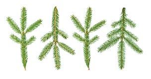 Un árbol de abeto Abies la rama del sibirica se aísla en un fondo blanco foto de archivo