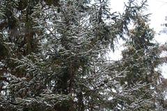 Un árbol de abeto en el bosque del invierno, Rusia Foto de archivo libre de regalías