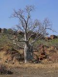 Un árbol de Boab en el pie de una colina Imagen de archivo libre de regalías