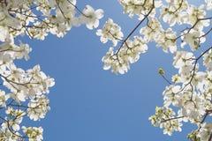 Un árbol de cornejo Imagen de archivo libre de regalías