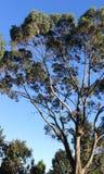 Un árbol de eucalipto alto Foto de archivo libre de regalías