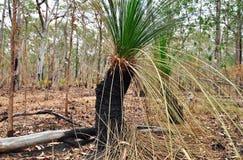 Un árbol de hierba australiano ennegreció por el fuego del arbusto Fotos de archivo