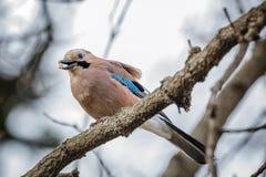 Un árbol de Jay Bird Eating On The imagen de archivo