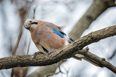 Un árbol de Jay Bird Eating On The imagen de archivo libre de regalías