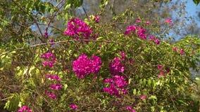 Un árbol de la buganvilla que florece con las flores rosadas metrajes