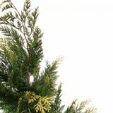 Un árbol de la conífera Fotos de archivo