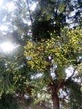 un árbol de la conífera en floraciones de la primavera foto de archivo libre de regalías