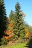 Un árbol de la picea que mira como si hubiera florecido foto de archivo libre de regalías
