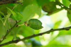 Un árbol de limón inmaduro Foto de archivo libre de regalías