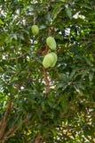 Árbol de mango Fotografía de archivo libre de regalías