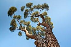 Un árbol de pino de debajo Imagen de archivo libre de regalías