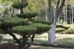 Un árbol de pino se atreve a ser diferente de toda la vegetación que los anillos él Imagen de archivo libre de regalías