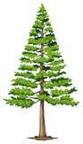 Un árbol de pino verde Fotos de archivo libres de regalías