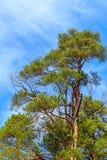 Un árbol de pino viejo, alto, verde con los conos en un fondo de un cielo nublado azul vivo Imágenes de archivo libres de regalías