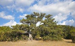 Un árbol de pino viejo debajo del cielo azul Imagen de archivo