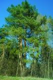 Un árbol de pino y cielo azul despejado Imagen de archivo libre de regalías