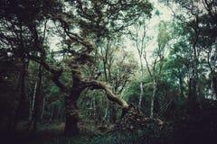 Un árbol de roble viejo foto de archivo libre de regalías