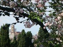 Un árbol de rosas rosadas con después de todo un edificio antiguo de la Roma histórica Foro romano del Th Imagen de archivo