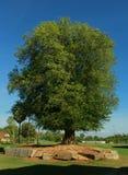 Un árbol de tamarindo muy viejo envejecido fotos de archivo
