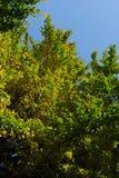 Un árbol del Ginkgo bajo el cielo azul Foto de archivo