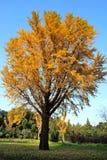 Un árbol del Ginkgo en la caída Fotos de archivo libres de regalías