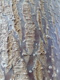 Un árbol del paulownia Foto de archivo libre de regalías