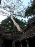 Un árbol dentro del templo de piedra antiguo Fotos de archivo