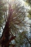 Un árbol deodar deshojado atractivo alto, Uttarakhand, la India Fotografía de archivo