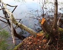 Un árbol derribado con los castores imagenes de archivo