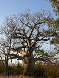 Un árbol en botella grasa de Boab Imagen de archivo