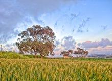 Un árbol en el horizonte con un campo de trigo en el primero plano en Fawwara, Malta Foto de archivo