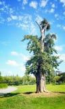 Un árbol en el parque chino por la mañana fotos de archivo libres de regalías