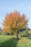 Un árbol en otoño en un cielo azul Fotografía de archivo