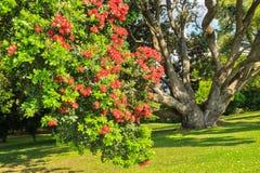 Un árbol floreciente del pohutukawa, también conocido como árbol de navidad de Nueva Zelanda foto de archivo