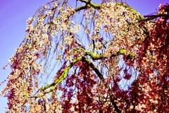 Un árbol floreciente hermoso, cargado con las flores en primavera temprana fotografía de archivo