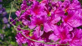 Un árbol floreciente rosado en la primavera es polinizado por una abeja Imagenes de archivo