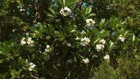 Un árbol frondoso del plumeria que florece con las flores blancas almacen de video