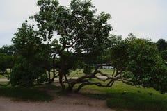 Un árbol hermoso con un tronco inusualmente de enrrollamiento fotografía de archivo libre de regalías