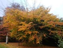 Un árbol hermoso en colores otoñales foto de archivo libre de regalías