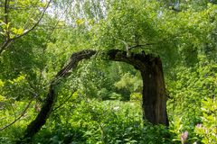 Un árbol inusual, un abedul en el jardín botánico Fotografía de archivo
