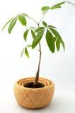Un árbol joven del dinero (Pachira) Imagen de archivo