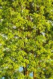 Un árbol llenado de lgreen el closup de los aleros fotografía de archivo libre de regalías